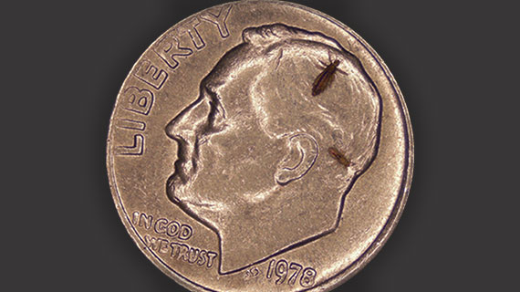 louse on penny